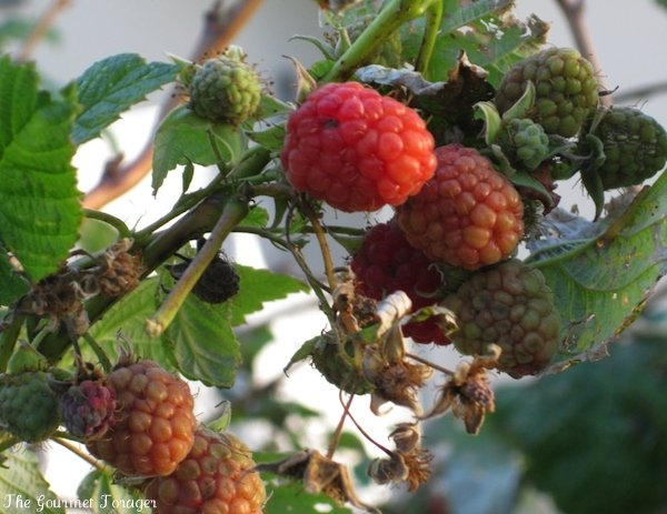 Fresh raspberries on the vine
