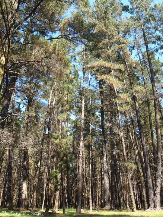 Majestic pines in Belanglo State Forest