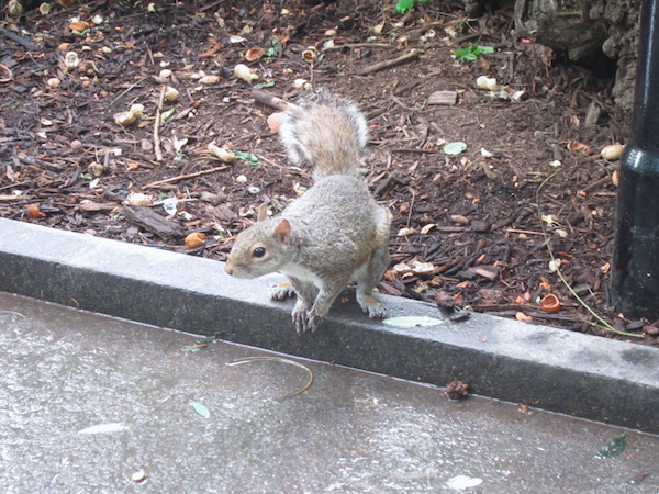 squirrel, central park, new york