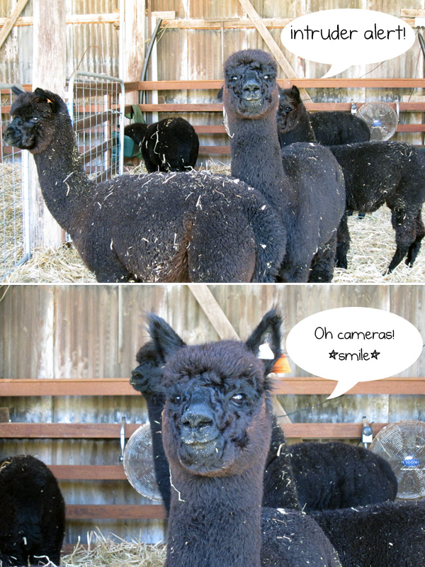 Milpaca Farm, black alpacas bred for wool