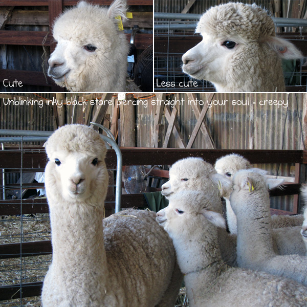 The white alpacas bred for their fluffy wool