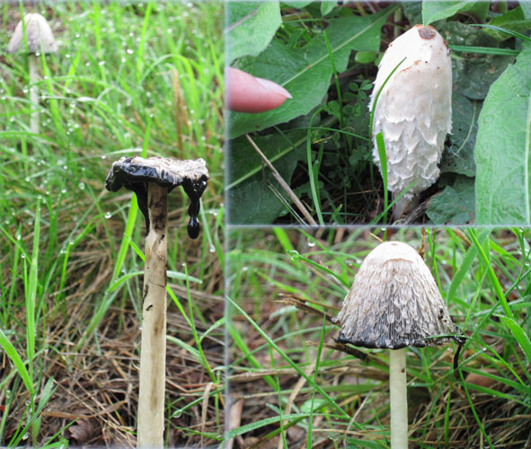 Coprinus comatus, shaggy manes, lawyer's wig, foraging, mushroom,